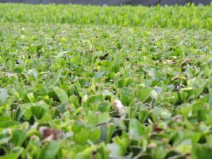 6 Tea bush after harvest